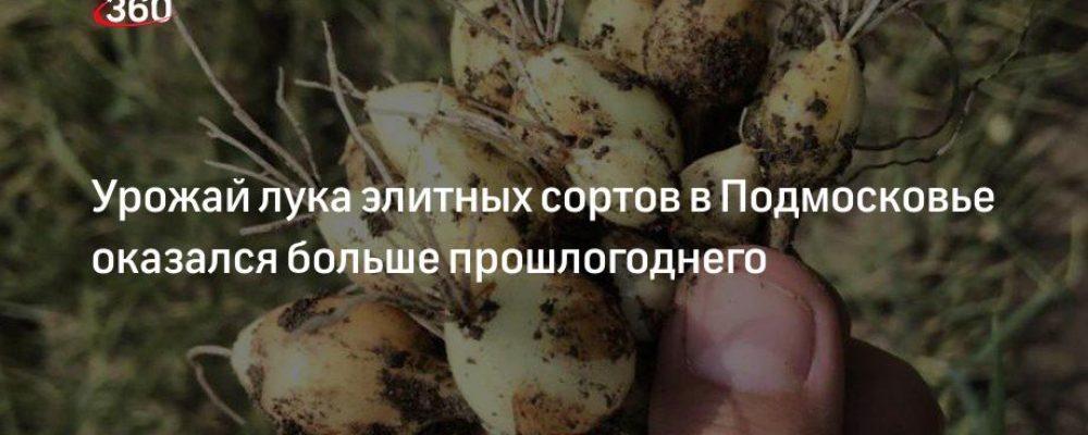 Урожай лука элитных сортов в Подмосковье оказался больше прошлогоднего
